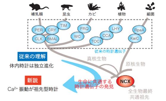 カルシウムイオンの制御タンパク質「NCX」が体内時計の重要部品だったとする研究の概念図(東大提供)