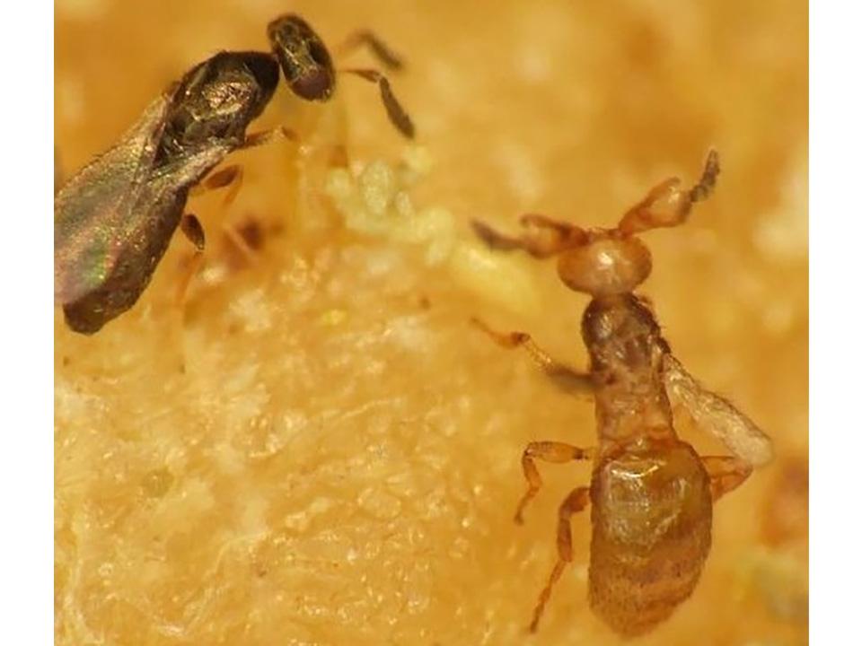 驚きの協力関係! 血縁などから雌雄産み分けるハチ発見 明治学院大など