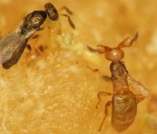 メリトビアのメス(左)とオスの成虫。オスは一緒に育ったメスたちと交尾を繰り返して一生を終える(明治学院大学提供)