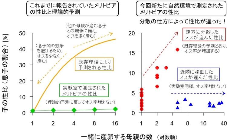 メリトビアが産むオスの割合。理論的予測(生物一般にみられる)と過去の実験室での観察結果(左)、安部さんらによる自然環境での観察結果(明治学院大学提供、一部改変)