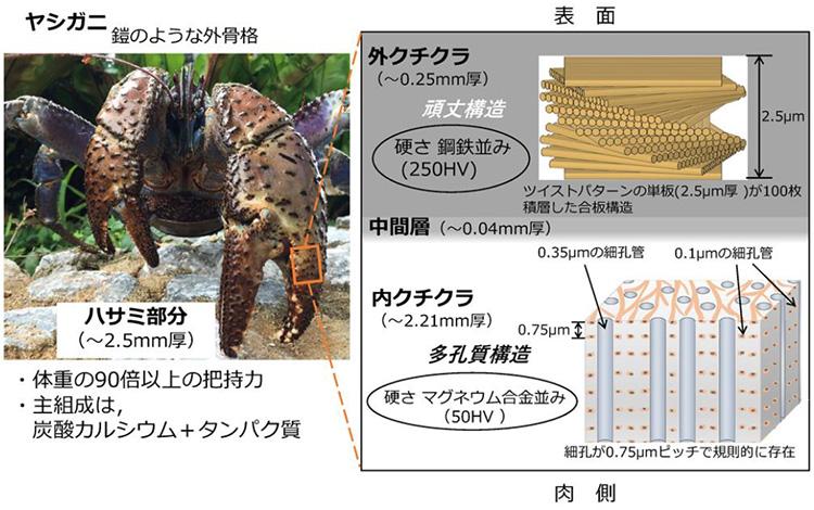 ヤシガニのハサミの硬い内部構造(NIMS提供)