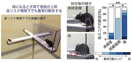 母親マウスは安全な場所に子を集めることができたが、出産前のほとんどのマウスはできなかった(理研提供)