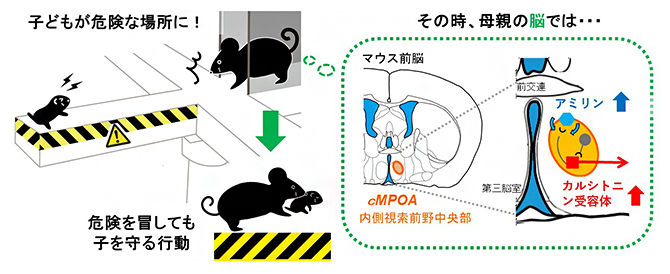 子を助けに行く母親マウスでは、脳の中心近くにあるcMPOAでカルシトニン受容体が多く発現していた(理研提供)