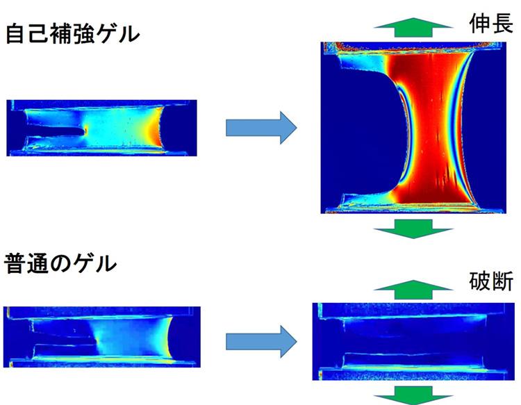 研究グループが開発した自己補強ゲルは強い力で引っ張っても頑丈になり破断しない(東京大学提供)