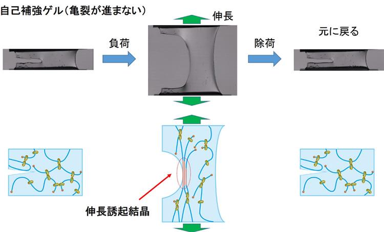 自己補強ゲルは伸張誘起結晶化し、力を取り除くと元の状態に戻る(東京大学提供)