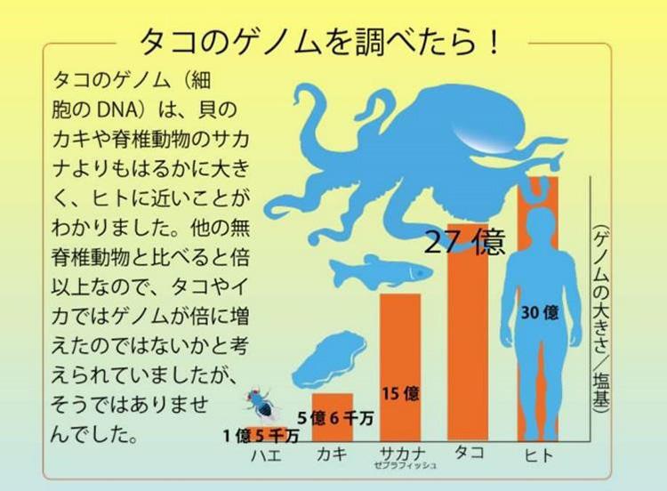 タコのゲノムの大きさ(塩基数)は27億もあり人間の30億に迫る(中村桂子氏提供)