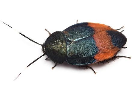 「美しいゴキブリ」宮古島で新種発見、初の法的保護