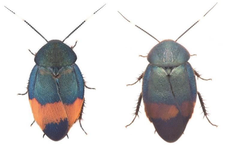 ベニエリルリゴキブリ(左)とウスオビルリゴキブリ。いずれもオス(柳沢静磨氏撮影、坂巻祥孝・鹿児島大学准教授提供)