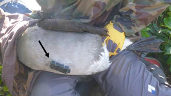 研究グループがクロアシアホウドリの腹部にビデオ記録計(矢印)を装着したところ。調査後、記録計は個体に影響を与えることがないよう取り外した(西澤文吾氏が鳥島で撮影、極地研/北大提供)