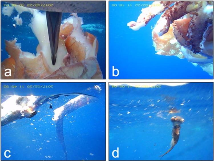 ビデオ記録計に記録されたイカ類(a,b)と魚類(c,d)。(a)には、記録計を装着したクロアシアホウドリのくちばしも写る(極地研/北大提供)