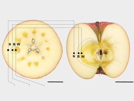 人気の蜜入りリンゴ、細胞の圧力と水の流れがカギ握る 愛媛大など解明