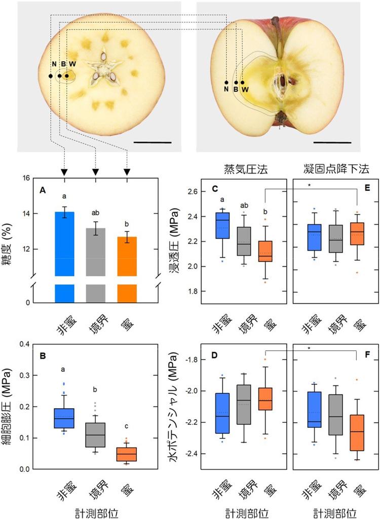 蜜入りリンゴの分析結果。蜜部分では細胞内の圧力(細胞膨圧)が低いこと、水が動きにくい(水ポテンシャルが低い)ことなどが分かった(愛媛大学提供)