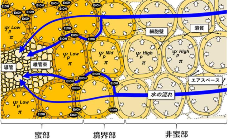 蜜入りリンゴの模式図。蜜のない外側(右)から蜜部分(左)へと水の流れがある。蜜部分の細胞内の圧力(白い矢印)は低い。細胞の隙間には、蜜や境界部分ではエタノール(EtOH)などが集まっているが、外側では空気の層(エアスペース)がある(愛媛大学提供)