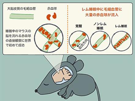 夢を見るレム睡眠中に脳がリフレッシュ 筑波大、京大がマウス実験で解明