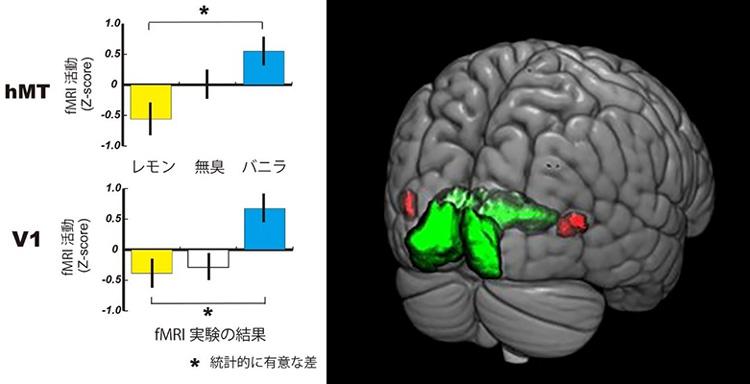 香りに応じて脳の視覚野の血流量が変化した実験結果(左)と、脳を後ろ側から見た図。緑色は最も初期に情報を処理する視覚野「V1」、赤色は主に動きに関わる「hMT」(情報通信研究機構提供)
