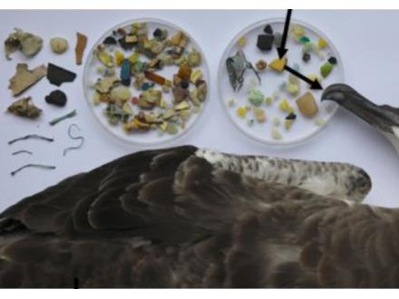 世界の海鳥の半数がプラスチック添加物汚染 東京農工大などの調査で判明