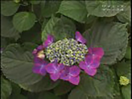 ミクロの小宇宙〜Microcosmic Explorers〜 (8)大きな花をつくる小さな花