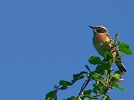 鳥たちの言葉は種を越える シジュウカラの鳴き声コミュニケーション