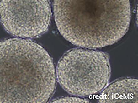 サイエンスニュース2014 多能性幹細胞 見えた!大量培養(2014年10月21日配信)