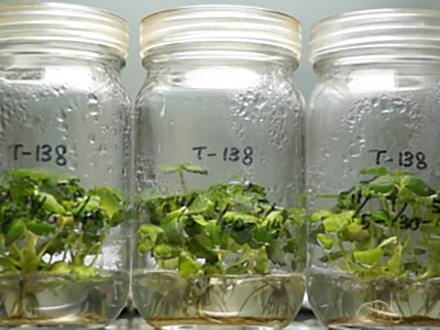 サイエンスニュース2015 食べて治す 薬をつくる農作物(2015年9月2日配信)