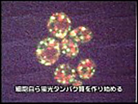 科学のフロンティア (5)細胞活動の可視化 新しい蛍光タンパク質技術