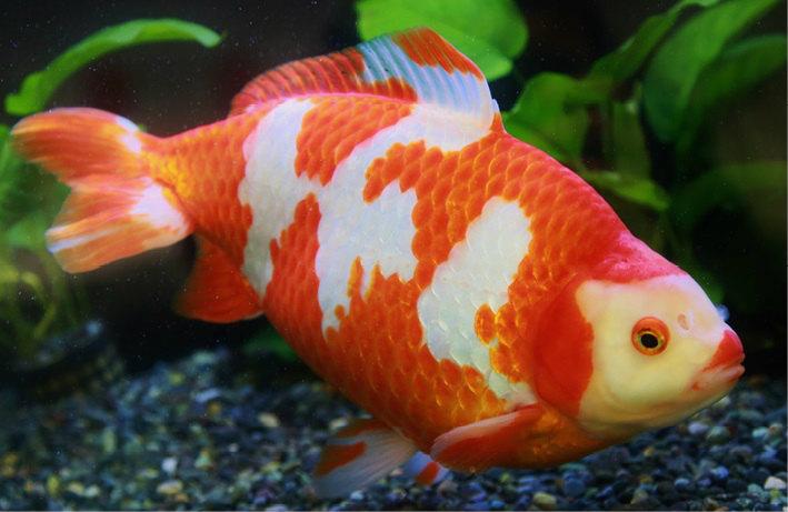 室町時代に中国からやってきた最初の金魚の特徴を今も残している。日本で一番古いので、和金という名前がついた。体が細長く、すばやく泳ぎ回る。金魚すくいでおなじみの赤い金魚の小赤も和金タイプに入る。体が丈夫で、初心者にも飼いやすい。