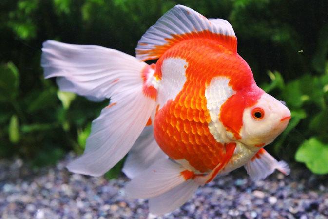 小さな頭に丸みのある体をもつ。長い尾ひれをなびかせ、優雅に泳ぐ姿が人気だ。泳ぎはあまり得意ではないので、すばやく泳ぐ品種とは一緒に飼わない方がいい。江戸時代に中国から琉球を経て輸入されたことから、その名が付いたといわれている。