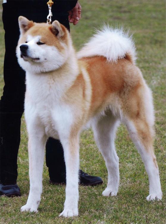 秋田犬 (画像提供/秋田犬保存会)